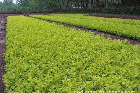 求购绿化工程苗