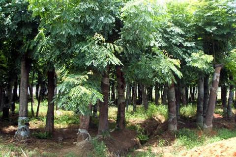 求购朴树、榉树