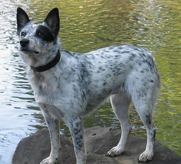 最全的狗狗智商排名,1-40名全集