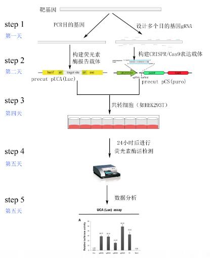cas9质粒构建及活性检测试剂盒