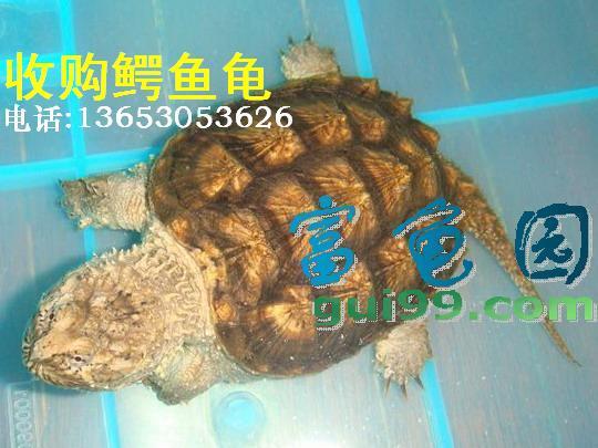 收购鳄鱼龟