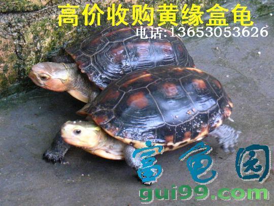 收购黄缘盒龟
