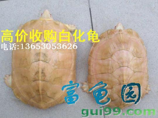 高价收购白化龟